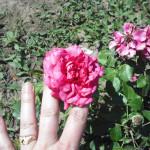 ady endre emleke flori rose rozsa 01